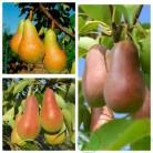 Главная страницаСаженцы плодовых деревьевСаженцы садовых деревьевГруша дерево сад (Талгарская красавица, Аббат Фетель, Киргизская зимняя)