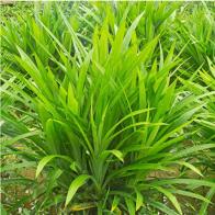 50Pcs/Bag Fragrant Grass Seeds Annual Pandan Flower Potted Seeds Fragrant Spices DIY Home Garden Bonsai Plant Seeds
