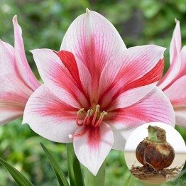 US $1.26 10% OFF|2 Pcs/ Bag True Pink Hippeastrum Rutilum Bulbs Bonsai Flower Plant Bonsai Potted Bonsai Rare Flower Bonsai  Garden-in Bonsai from Home & Garden on Aliexpress.com | Alibaba Group