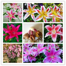 US $1.98 10% OFF|2 Bulb Perfume Lilies (Bonsai) , Rare Flower Garden Plant , Balcony Bonsai Courtyard Plant Flowers Lily-in Bonsai from Home & Garden on Aliexpress.com | Alibaba Group